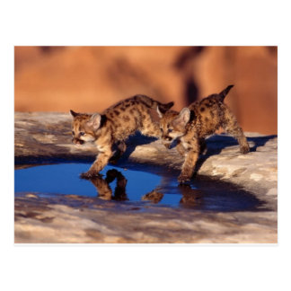 petits animaux jumeaux de puma carte postale