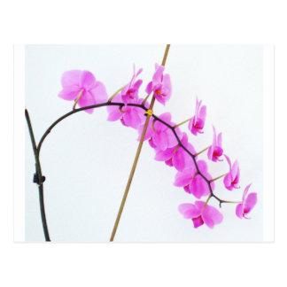 phalaenopsis 1 postcard