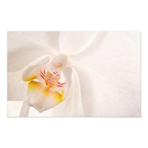 Phalaenopsis Moth Orchid Photograph