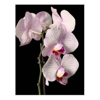 Phalaenopsis orchid postcard