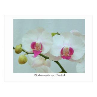 Phalaenopsis sp. Orchid Postcard