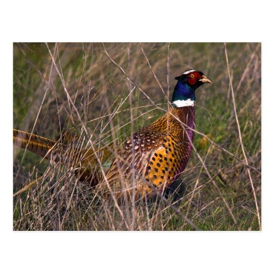 Pheasant  407 postcard