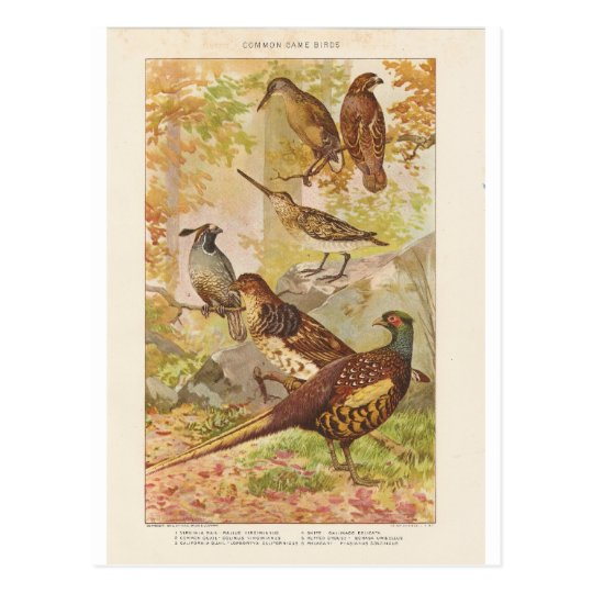 Pheasant and Other Game Postcard
