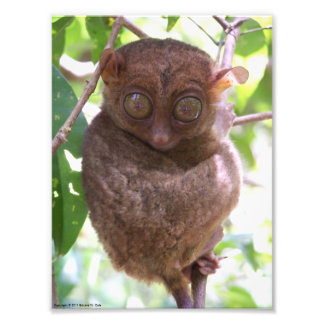 Philippine Tarsier Photo Print