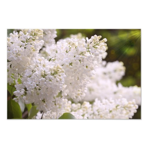 Photo assez blanche de lilas