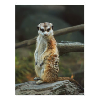 Photo de Meerkat Cartes Postales