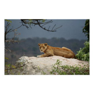 Photo of African lion lying on rock in nature Poster