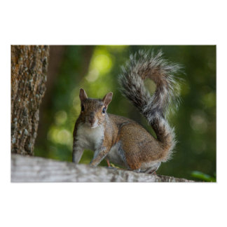 Photo of Grey Squirrel Poster