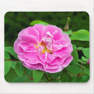Photo of rose blossom with small bee. mouse pad
