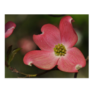 Photo Post Card of Red Dogwood