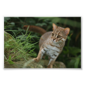 Photo - rusty spotted cat