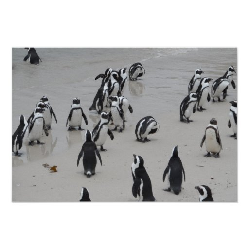 Photography Of  penguins Poster