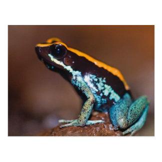 Phyllobates vittatus, a poison arrow frog postcard