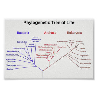 Phylogenetic Tree Poster