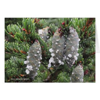 Picea rubens, red spruce card