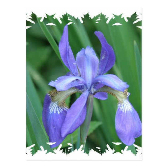 Picture of Iris Postcard