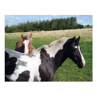 Piebald & Chestnut Horses Postcard
