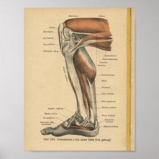 Pied de jambe d'impression d'anatomie d'Allemand Poster