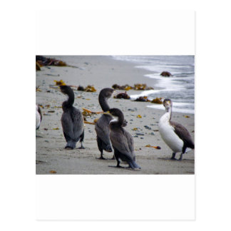 Pied Shags Postcard