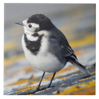Pied Wagtail Ceramic Tile