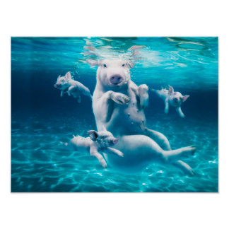 Pig beach - swimming pigs - funny pig poster