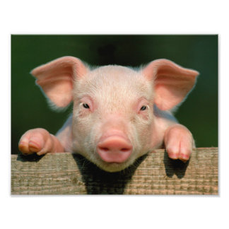Pig farm - pig face photo print