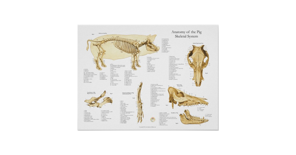 Pig Porcine Skeletal Anatomy Poster Chart | Zazzle.ca