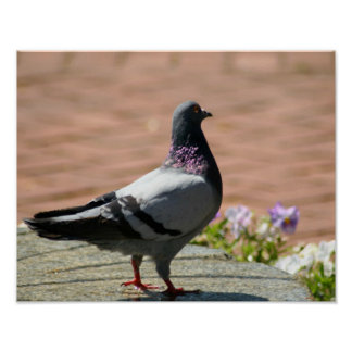 Pigeon Full Color Poster