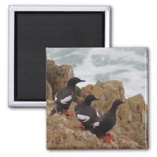 Pigeon Guillemots Photo Magnet