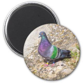 Pigeon. Magnet