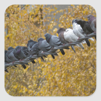 Pigeons Square Sticker