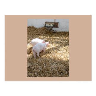 Piggies Postcard