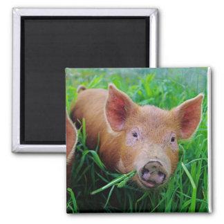 piglet chewing grass magnet