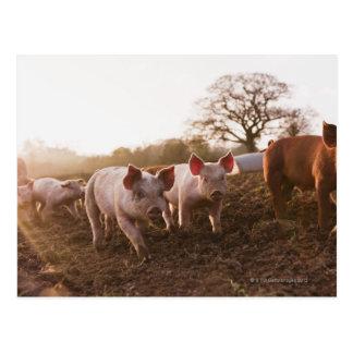 Piglets in Barnyard Postcard