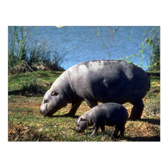 Pigmy Hippos cow with small calf Postcard