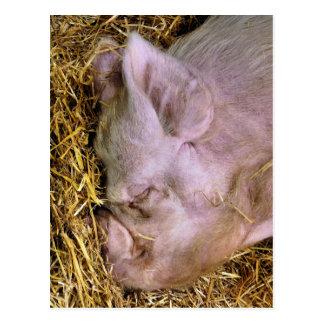PIGS POSTCARD