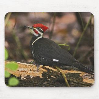 Pileated Woodpecker, Dryocopus pileatus, Mouse Pad