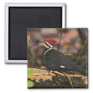 Pileated Woodpecker, Dryocopus pileatus, Square Magnet