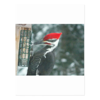Pileated Woodpecker Fan Items and Apparel Postcard