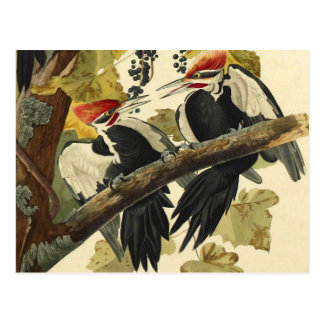 Pileated Woodpecker, John James Audubon Fine Art Postcard