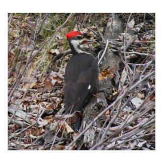 Pileated Woodpecker Pecking Poster