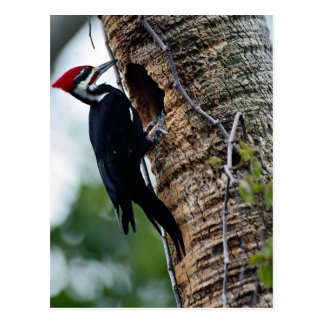 Pileated woodpecker postcard
