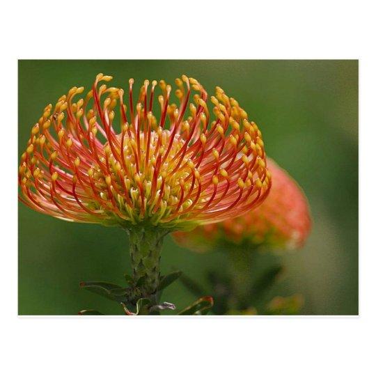 pincushion-protea postcard