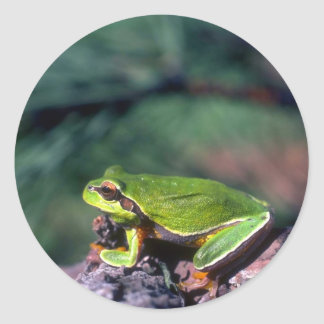 Pine Barrens Treefrog Round Sticker