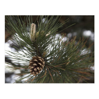 Pine cone postcard