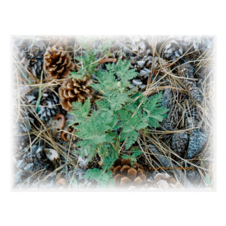 Pine Cones and Fern Postcard