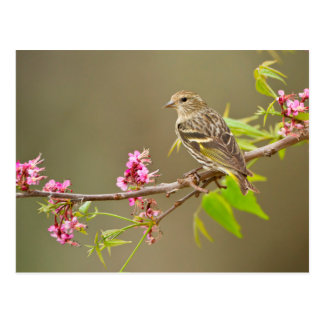 Pine Siskin (Spinus Pinus) Adult Perched Postcard