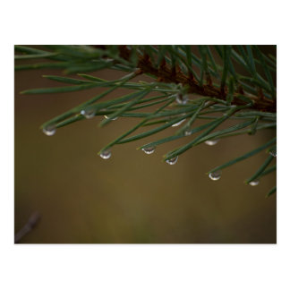 Pine Tree Drops Postcard