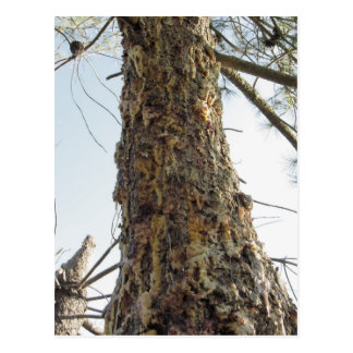 Pine tree resin on the trunk postcard