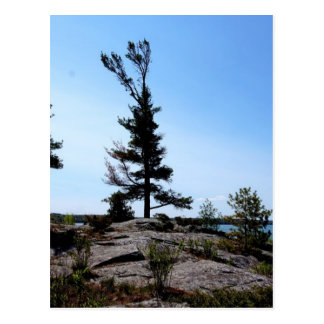 Pine trees on rocks at north channel postcard